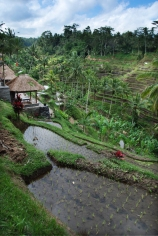 Bali_–_Rice_Terrace_(2692079315)